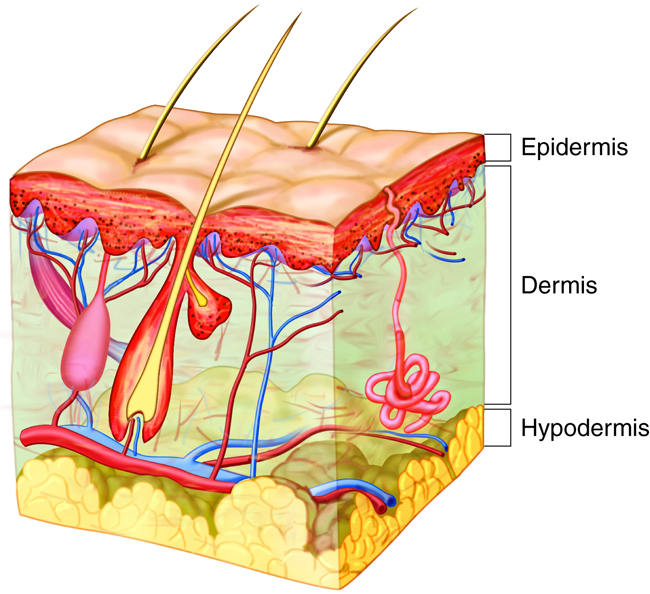 Layers of skin, transepidermal water loss